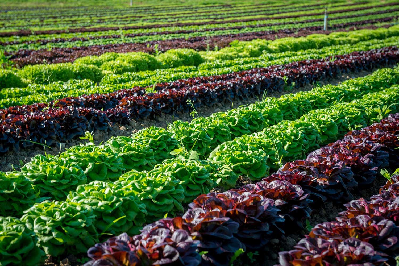 Aufnahme von einem Salatfeld