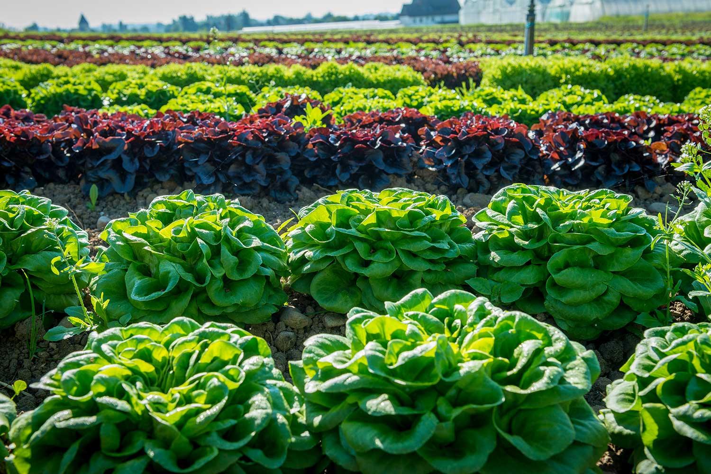 Feld mit Salaten